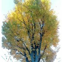 紅葉舞い散る、銀杏並木。