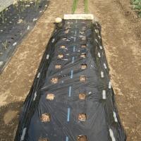 ダイコンの再播種と秋ジャガの土寄せ