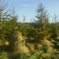 防風林掃除