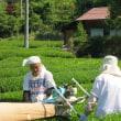 いよいよ「隠れ茶の里」@梅ヶ島でも茶摘みが始まりました!