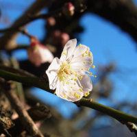 我が家の梅 開花