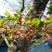 ソメイヨシノが散って八重桜が咲いて~♪