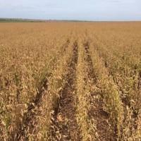 シカゴ続落=南米での収穫増見通しで