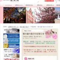 造幣局の桜☆