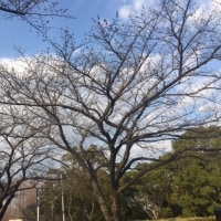 今年の東京の桜の開花予想日は3/21なので・・・