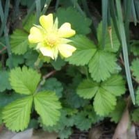 エリア2 ヤブヘビイチゴの黄色い花