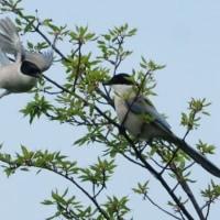 細い枝先に、2羽のオナガ。