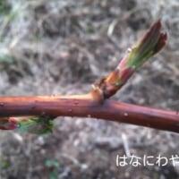 ラズベリーの葉の芽