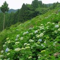 柴石峠の山アジサイ~長江棚田に咲くあじさい。
