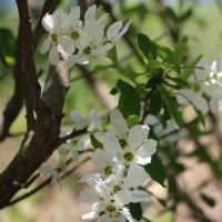 白い花木*
