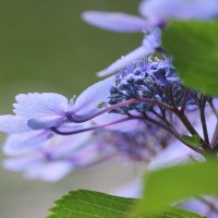 花木点景:梅雨の藍―あじさい集真藍