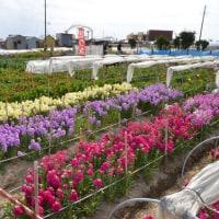 千田(潮風王国の隣り)の花畑で花摘み(南房総市千倉)