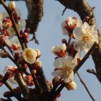 梅が咲き始め…多摩川冬景色シリーズ