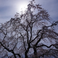 北広島町宮地、「地久院のしだれ桜」 2017