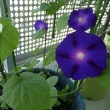 我が家のベランダの鉢植え~アサガオ・フウセンカズラ・メロン・ホウヅキ~