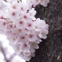 今年もさくらが咲きました!八王子清川団地の堤防