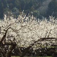 新城川向(かおれ)梅園