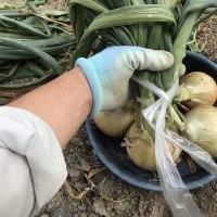玉ねぎの収穫その2