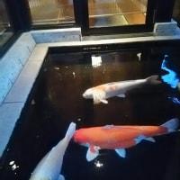 浅草むぎとろの鯉