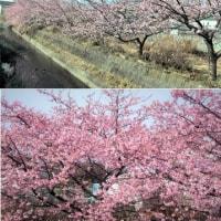河津桜 in Fuji city.
