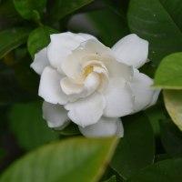 ブルーベリーと白い花