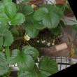 7/18イチゴの花とガーデンレタスとシソ