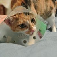 避妊手術と小太郎