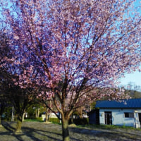 富良野麓郷街道やっと桜満開!