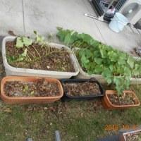 庭のシソを片づけました