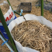 今年の長芋は高畝&肥料袋とした。