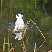 ダイサギの初見、水浴びシーンを・・・