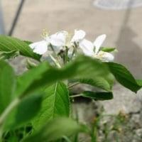 我が家のリンゴの花が咲いた