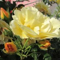 薔薇が主に咲いています・・・・・暑かった~~~