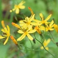林縁にニガナの黄色い花
