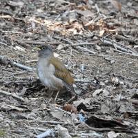 柏の葉公園周辺の野鳥_シロハラ(白腹)採餌