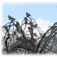 厳寒の冬枯れの木立に…(^^♪福取りの神「鳥(酉)のなる木」が…スズメがいっぱい、福神信仰は…