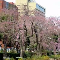 山下公園のしだれ桜  (神奈川県横浜市中区 2017.3.25)