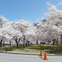 今年2回目の桜満開!(長野県)