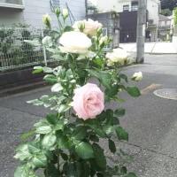 2006年大阪で開かれた世界ばら会議で殿堂入りしたバラ「ピエールドゥロンサール」