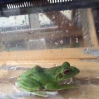 もりあお蛙???