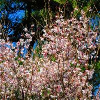 『花模様』 オカメ桜
