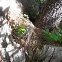 コラージュ刺しゅう 礼文島 木の芽
