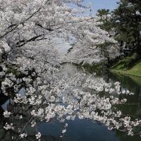 弘前の桜に大感激!! 「花よりだんご」これを契機に返上っす