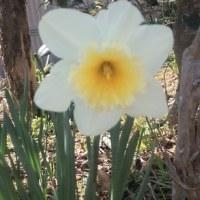ラッパ水仙が咲き始めました。