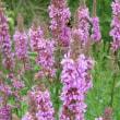 牧草ロールの季節 エゾミソハギ開花