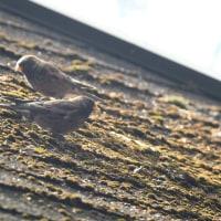 休憩所の屋根にもとまった、ハギマシコ。