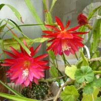 一日しか咲かないサボテンの花 オオーw(*゚o゚*)w