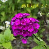 祝29連勝 藤井聡太四段へ贈るオイランソウ