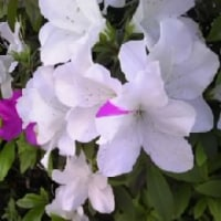 五月の花 さつき です