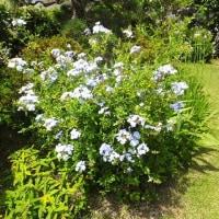 瑠璃茉莉(ルリマツリ)が盛んに咲きます。